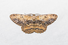 Unidentified moth on white screen Stock Photography