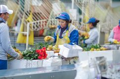 Unidentified people working inside of a flower factory on bunch of blossoming beautiful roses bouquets, empaqued and. Classifying the quality stock photos