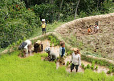 Unidentified people working in rice fields Stock Image