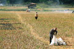 Unidentified people working in rice fields Stock Photo