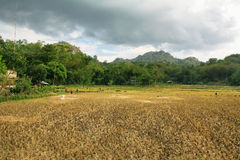 Unidentified people working in rice fields Royalty Free Stock Photo