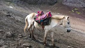 Mule going down. Unidentified Peruvian woman moving down mule by mountain slope stock video