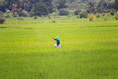 An unidentified thai farmer sowing fertilizer on his rice field Stock Image