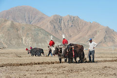 Unidentified Tibetan farmers work hard on rice field Royalty Free Stock Image