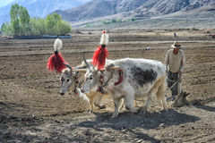 Unidentified Tibetan farmers work hard on rice field Stock Photos