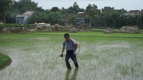 Unidentified Vietnamese farmer walking through rice field, spraying pesticides. Quang Ngai, Vietnam. Unidentified Vietnamese farmer walking through rice field stock video footage