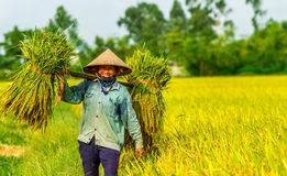 An unidentified woman carrying rice bundles home happily as the harvest is quanttitative Stock Image