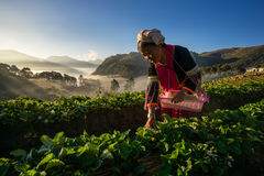 Unidentified woman Harvests Strawberry in Strawberry plantation field Stock Photos