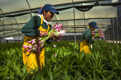 Unidentified women picking flowers in a specialized greenhouse Royalty Free Stock Images
