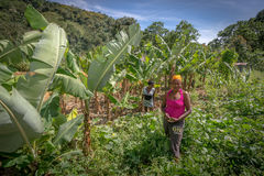 Unidentified women working on field near Polo, Barahona, Dominican Republic Royalty Free Stock Photo