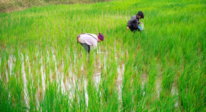 Unidentified workers are harvesting rice Royalty Free Stock Photography