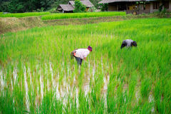 Unidentified workers are harvesting rice Stock Photos
