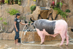 Unidentified young man washing a spotted water buffalo Royalty Free Stock Photos