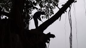 Unidentifizierbarer junger Mann schneidet Niederlassung auf einen großen Baum stock video