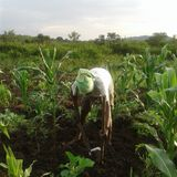 An unidintified young African Man Working in the field stock images