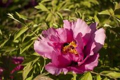 Unieke verse bloemen boomachtige pionen in het natuurlijke groeiende milieu, de aard van de oostelijke Oekraïne Royalty-vrije Stock Fotografie