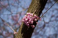 unieke verse bloemen op de boom in het natuurlijke groeiende milieu, de aard van de oostelijke Oekraïne Stock Afbeeldingen