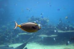 unifish Στοκ Φωτογραφίες