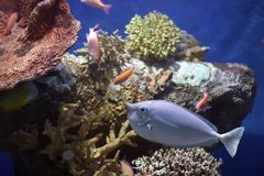 Unifish. Unicornfish in front of colorful coral Stock Photo
