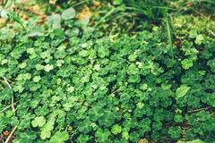 Uniform grass with clovers Stock Photo