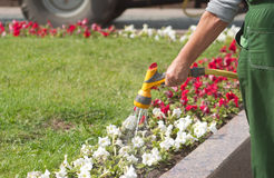 Uniformed gardener watering flowers Stock Photo