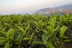 Unik bakgrund med ny grön teblad och tekulledel 2 arkivfoto