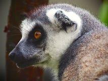Unik exotisk Madagascan Cirkel-Tailed maki i förtrollande profil Fotografering för Bildbyråer