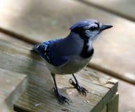 Unik färgrik härlig fågel för blå nötskrika i Michigan Royaltyfri Bild
