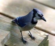 Unik färgrik härlig fågel för blå nötskrika i Michigan Royaltyfri Fotografi