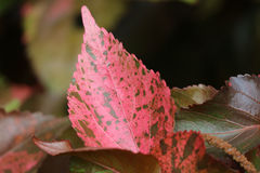 Unik modell av livliga Coral Pink med det bruna bladet för tropisk växt för brytning Arkivbilder