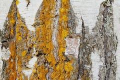 Unik original- naturlig modell på björkskället skadlig av naturliga atmosfäriska fenomen Djup gul och grå lav för sprickor, arkivbild