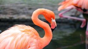 Unik röd flamingo i en sjö, högt definitionfoto av detta underbara fågel- i Sydamerika arkivbild
