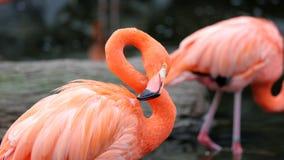 Unik röd flamingo i en sjö, högt definitionfoto av detta underbara fågel- i Sydamerika arkivbilder