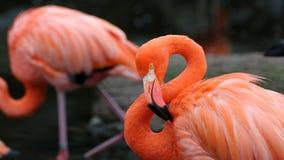 Unik röd flamingo i en sjö, högt definitionfoto av detta underbara fågel- i Sydamerika arkivfoton