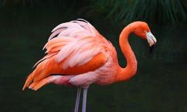 Unik röd flamingo i en sjö, högt definitionfoto av detta underbara fågel- i Sydamerika royaltyfria bilder