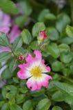 Unik rosa färgblomma Royaltyfria Foton