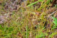 Unika gräsblommor Fotografering för Bildbyråer