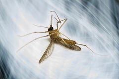 Unika komara Itchy i gniewanie kąsków fotografia royalty free