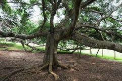 Unika kungliga botaniska trädgårdar i Peradeniya är ansedda som en av de bästa i Asien, som den innehåller en samling av 4000 art Arkivfoto