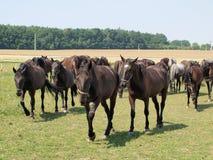 Unika Starokladruby hästar, östliga Bohemia Royaltyfri Foto