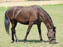Unika Starokladruby hästar, östliga Bohemia Arkivbild