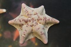 Unikalna koronkowa gwiazdy ryba śmietanka i menchie barwimy Zdjęcia Royalty Free
