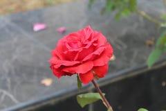 unikalna Piękna rewolucjonistki róża fotografia royalty free