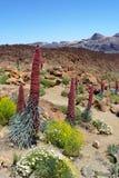 Unikalni kwiaty w Tenerife Fotografia Stock