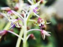 Unikalni trakenu purpurowego serca orchidei kwiaty obraz stock