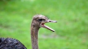 Unikalny afrykański struś, wysoka definici fotografia ten cudowny ptasi w południowym Afryka Obraz Royalty Free
