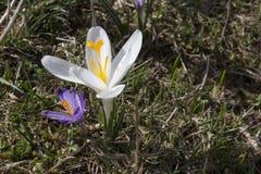 Unikalny biały krokusa kwiat Zdjęcia Stock