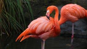 Unikalny czerwony flaming w jeziorze, wysoka definici fotografia ten cudowny ptasi w południowym America zdjęcia royalty free