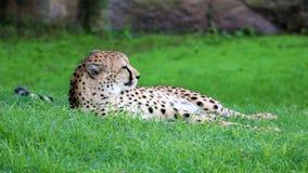 Unikalny gepard w zielonej trawy wzgórzu, wysoka definici fotografia ten cudowny ssak w południowym Africa obraz royalty free