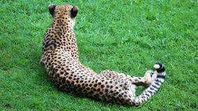 Unikalny gepard w zielonej trawy wzgórzu, wysoka definici fotografia ten cudowny ssak w południowym Africa obraz stock
